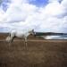 white horse - bulgaria