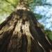 redwood sky